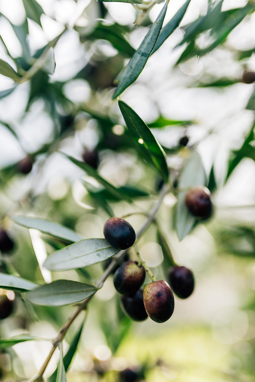 Olive Pick-3.jpg