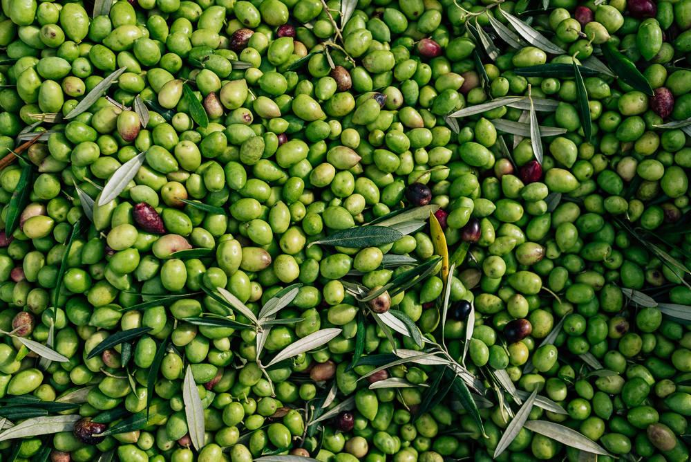 Olive Pick-6.jpg