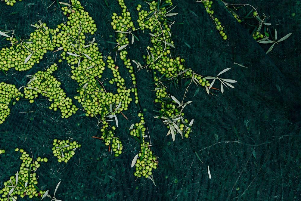 Olive Pick-10.jpg
