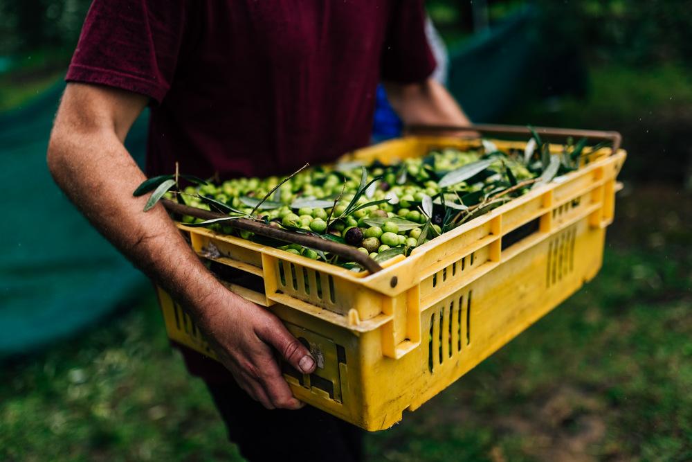 Olive Pick-13.jpg