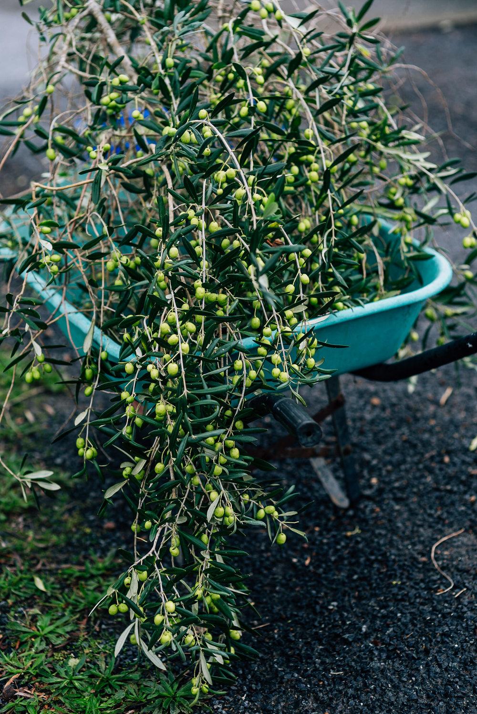 Olive Pick-20.jpg