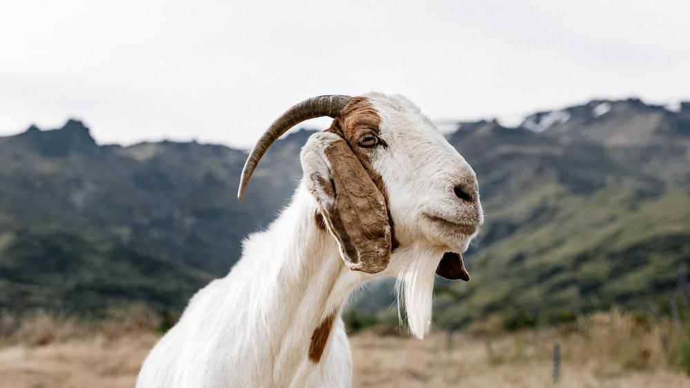 Nanny Goat-20.jpg