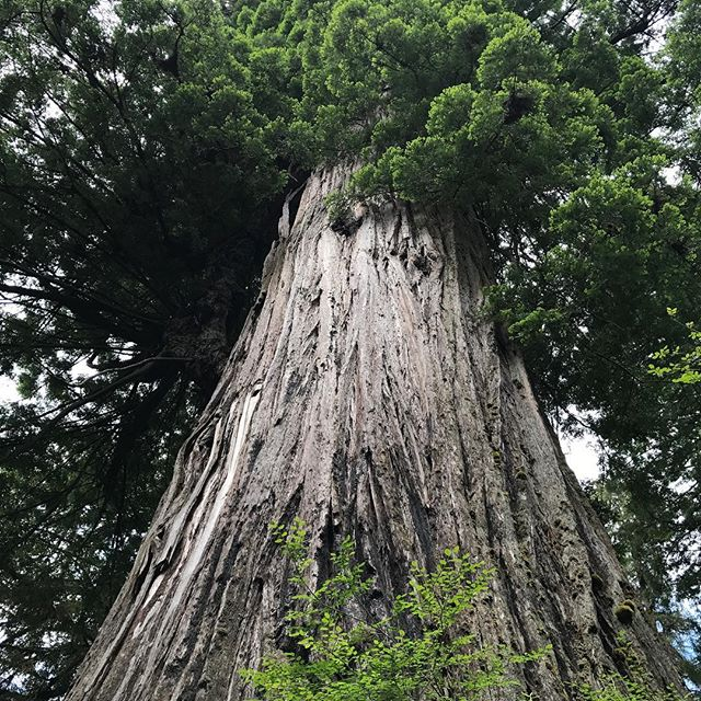 #BigTree. 1500 years old. Think of all it knows. We have no clue.
