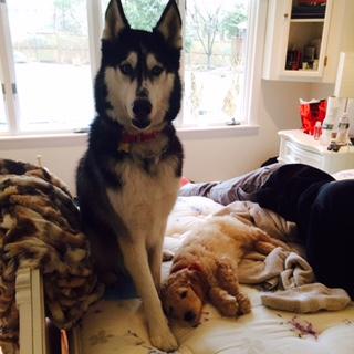 Duke the Husky & Louie
