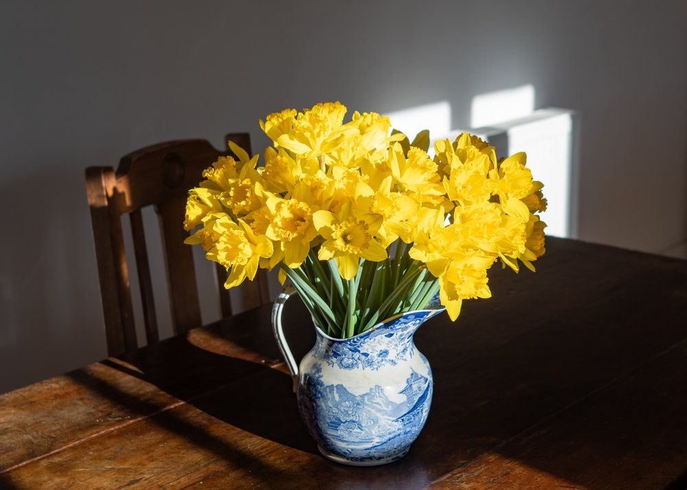 Daffodil Days are coming to NK.