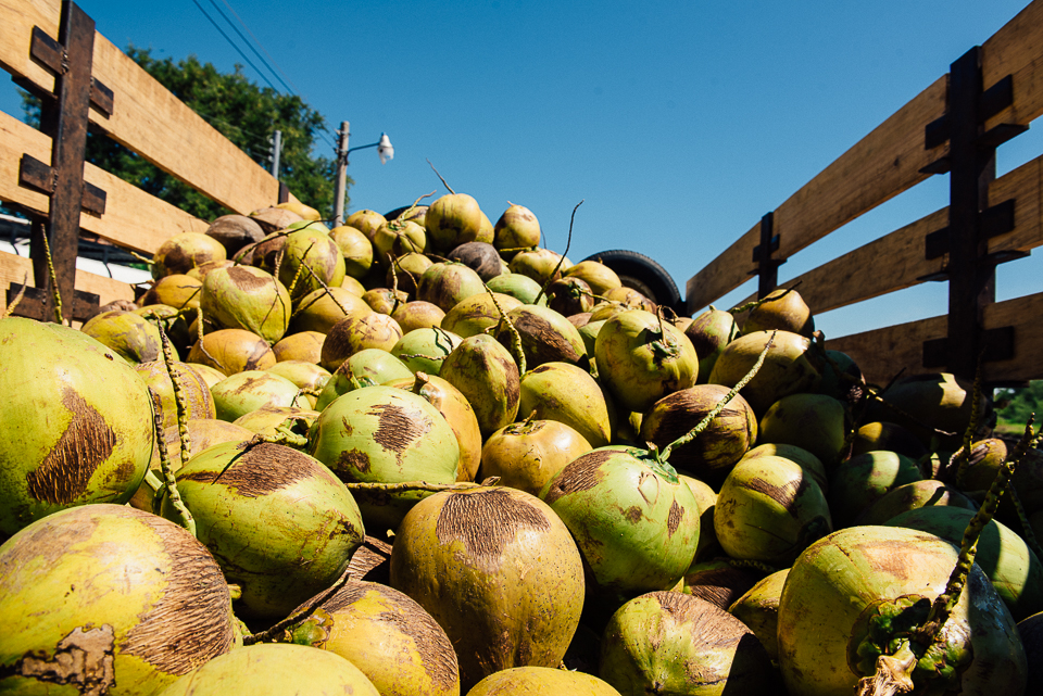 Freshly-picked coconuts in a truck in Puerto Parada, El Salvador.