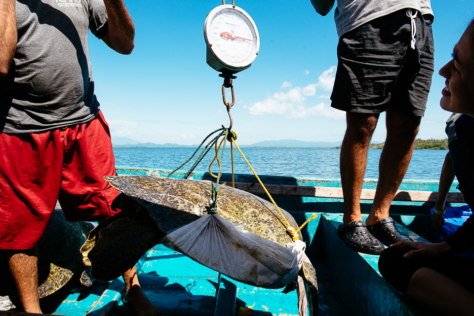 The ICAPO team placed the hawksbill turtle on a burlap sack and suspended it on a wooden dowel to measure her weight. It wasn't a fancy technique, but it got the job done!