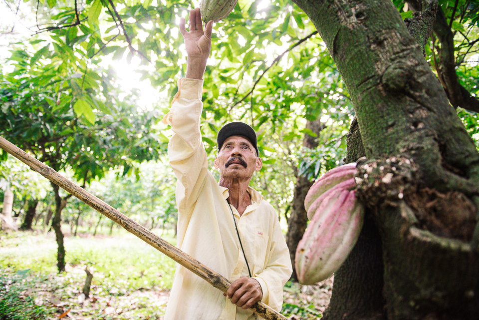 The mananera knife is used to harvest the cacao fruit - it is a long pole with a small curved blade at the end.