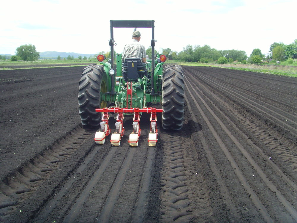 Basil being seeded in field 002.jpg