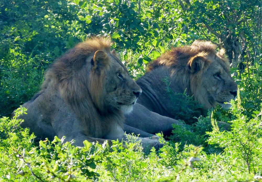 Male lions.JPG