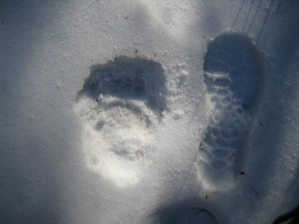 Following a bear in Colorado--his foot and my foot.