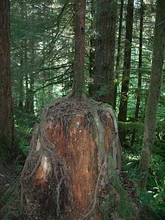 Somewhere on an Oregon fishing trail, a tree emerges from a logged ancestor