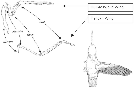 Hummingbird Wing