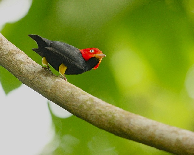 Red-Capped Manakin Bird
