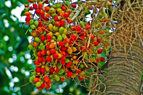 Amazon rainforest berries