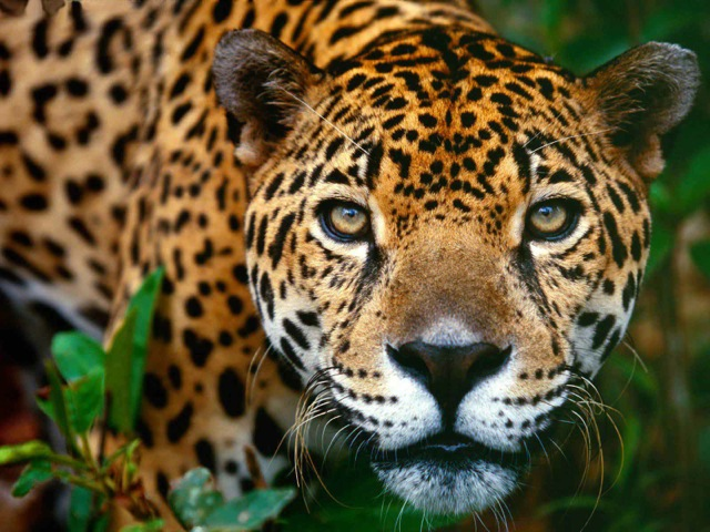 Jaguar in the Amazon Rainforest