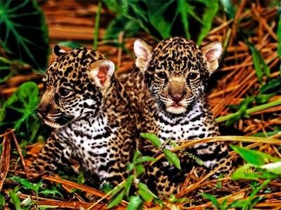 Charming Jaguar Cubs