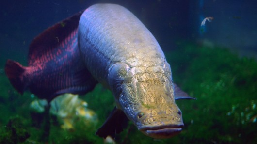 arapaima swimming