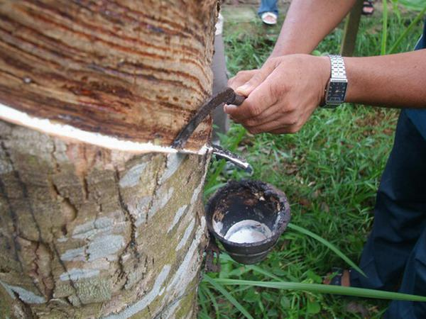 Rubber Tree Sap