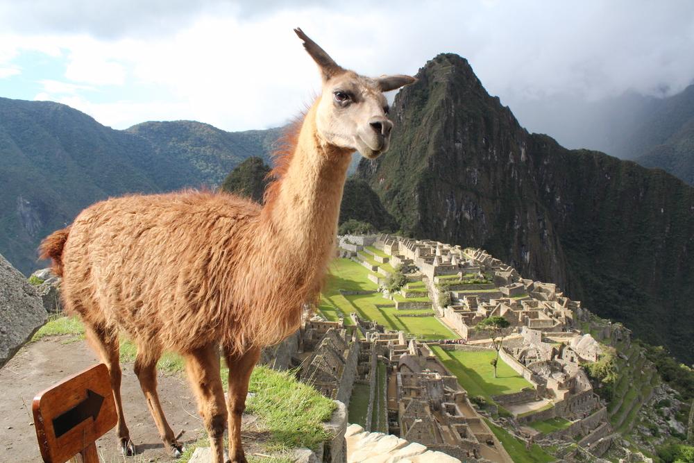 Llama in Machu Picchu Tour