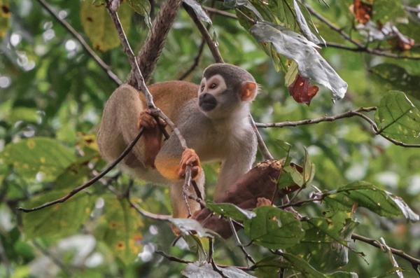 Treehouse Lodge Peru Monkey