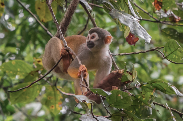 monkey treetop canopy
