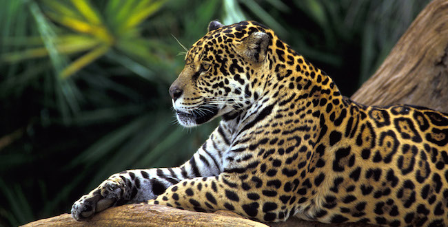 Brazil Amazon Cruises Jaguar