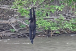 spider monkey amatista cruise