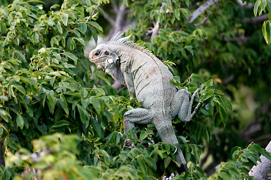 amazon-dream-iguana.jpg