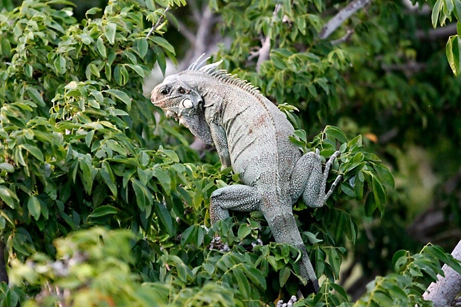 lo peix iguana