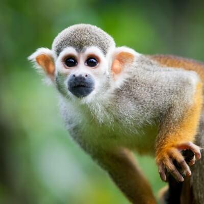 Squirrel Monkey-Saimiri sciureus