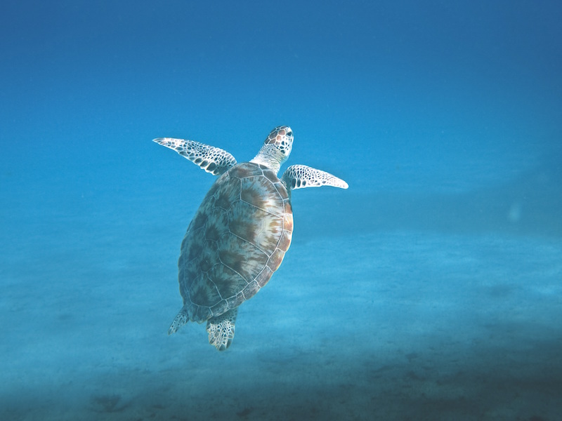 Galapagos Green Turtle– Chelonia agassizii