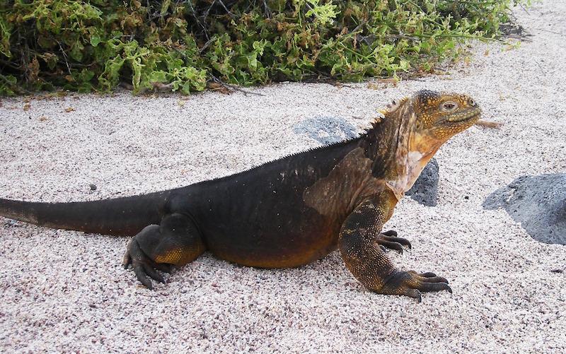Galapagos land iguana–Conolophus subcristatus