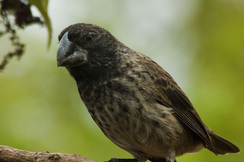Large ground finch –  Geospiza magnirostris