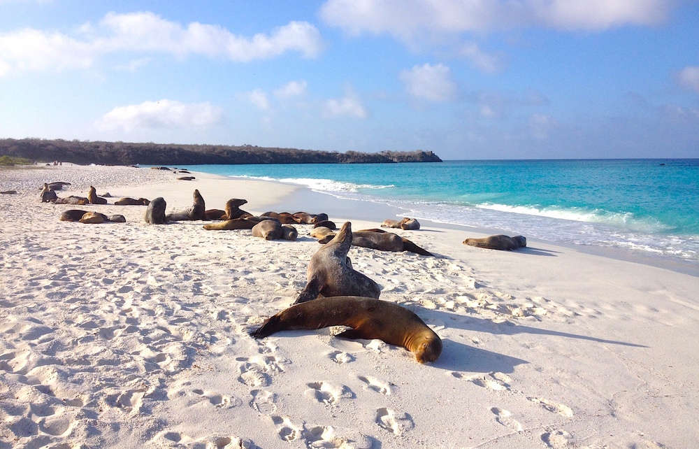 Galápagos sea lion–Zalophus wollebaeki