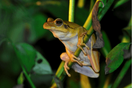Frogs of the Amazon