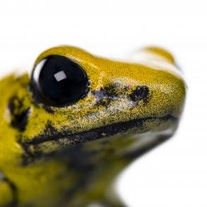 Terriblis Amazon Frog