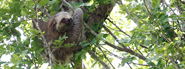 Slowly does it - a sloth in action