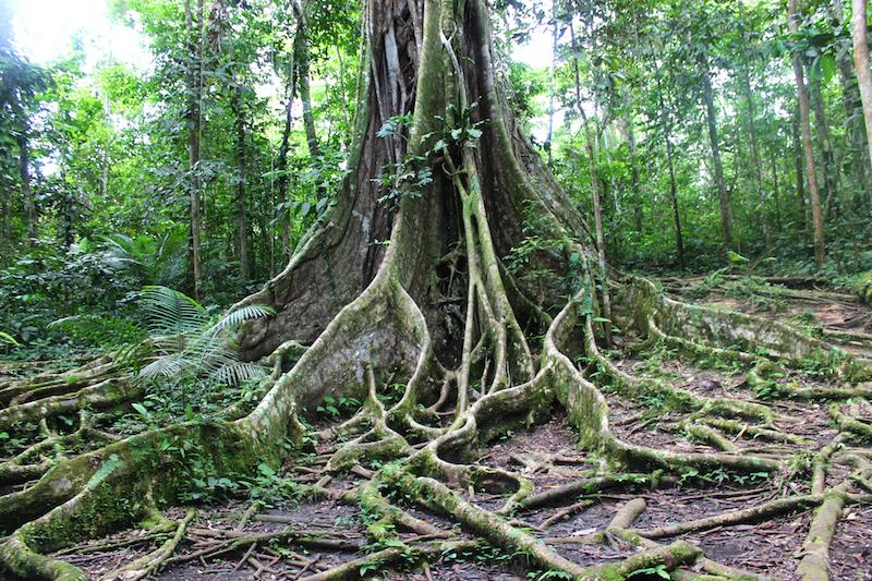 Amazon jungle tree roots