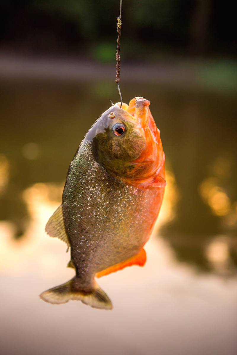 fishing in the amazon river best known fish species