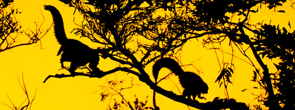 Monkeys at dusk