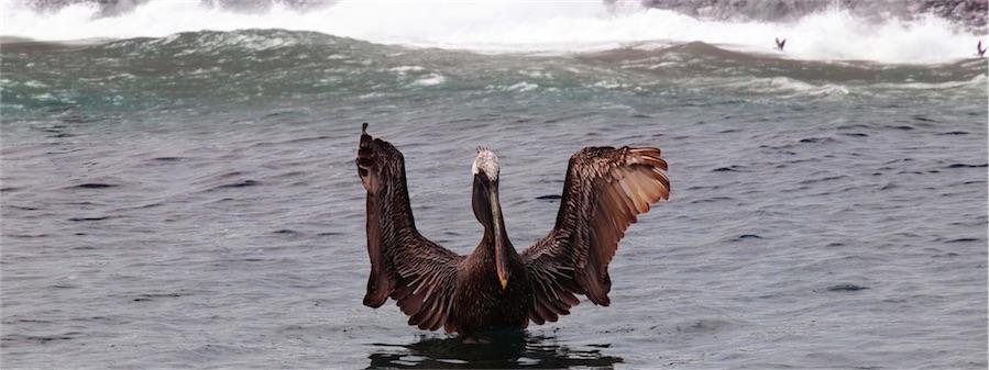 Pelican Surfing