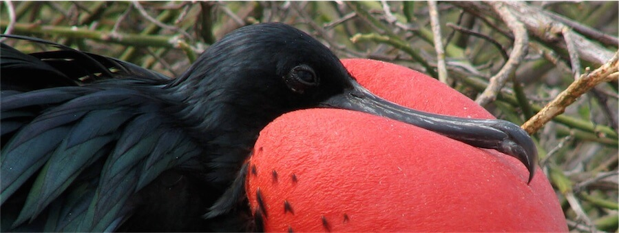 Male Frigatebird