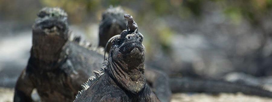 Marine Iguana hat