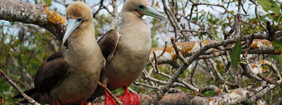 Red-footed booby couple