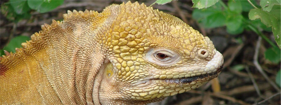Land Iguana close-up