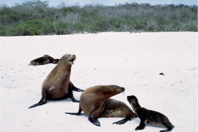 Sealion pups on Galapagos
