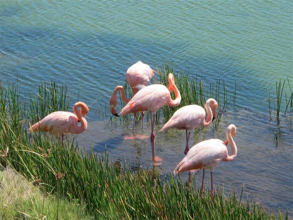 Galapagos Flamingoes