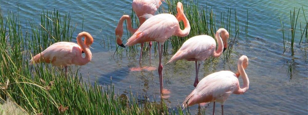 Flamingoes Galapagos