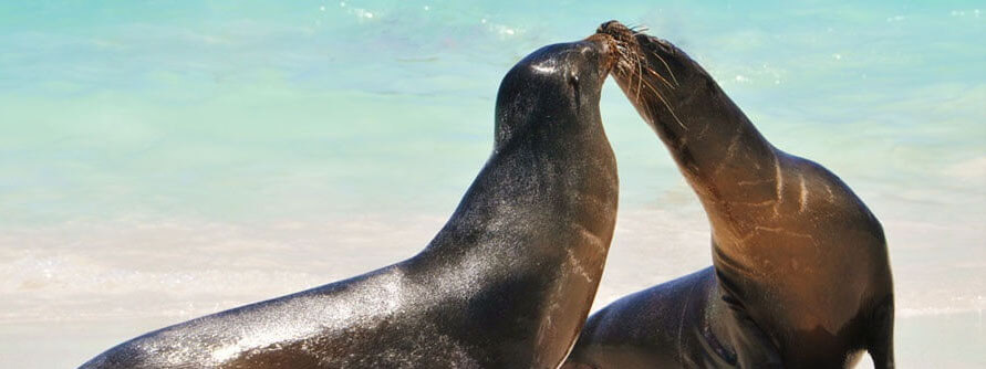 Sealions kissing in the Galapagos